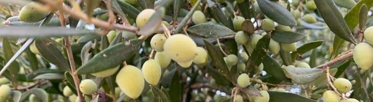 afbeelding versterkt wereld olijfboom dag
